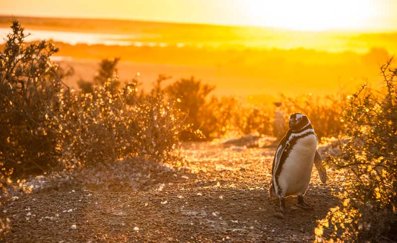 Magellanic Penguins Punto Tombo Patagonia Argentina